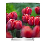 red tulips II Shower Curtain