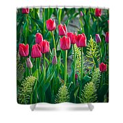 Red Tulips In Skagit Valley Shower Curtain
