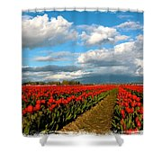 Red Tulips Of Skagit Valley Shower Curtain