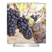 Red Wine Grapes Growing On Old Grapevine Shower Curtain