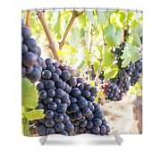 Red Wine Grapes Hanging On Grapevines Vertical Shower Curtain