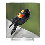 Red-winged Blackbird Display Shower Curtain