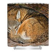 Red Wolf Shower Curtain