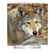 Red Wolf Portrait Shower Curtain