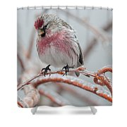 Redpoll Shy Pose Shower Curtain