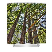 Redwoods 3 Big Basin Shower Curtain