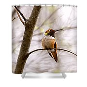 Regal Rufous Hummingbird Sitting Shower Curtain