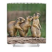 Relaxing Utah Prairie Dogs Cynomys Parvidens Wild Utah Shower Curtain