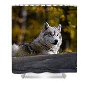 Resting Arctic Wolf On Rocks Shower Curtain