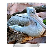 Resting Great White Pelican Shower Curtain