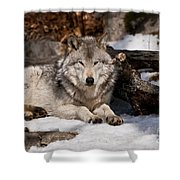 Resting Timber Wolf Shower Curtain