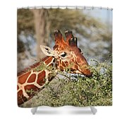 Reticulated Giraffe Browsing Acacia Kenya Shower Curtain