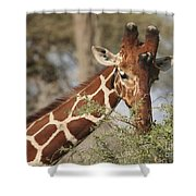 Reticulated Giraffe Feeding On Acacia Shower Curtain