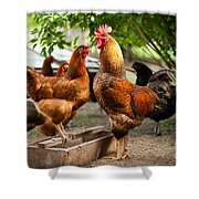 Rhode Island Red Chickens And Wooden Feeder  Shower Curtain