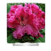 Rhododendron ' Bessie Howells ' Shower Curtain