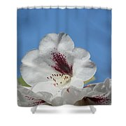 Rhododendron In White And Burgundy Shower Curtain