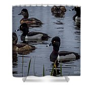 Ring-necked Ducks 6 Shower Curtain