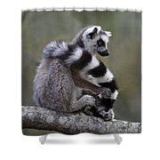 Ring-tailed Lemur Lemur Catta  Shower Curtain