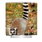 Ring-tailed Lemur Lemur Catta Walking Shower Curtain