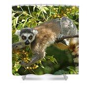 ring-tailed lemur Madagascar 1 Shower Curtain