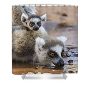 Ring-tailed Lemur Mother Drinking Shower Curtain