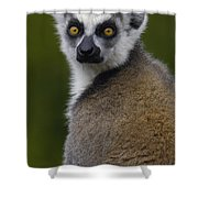 Ring-tailed Lemur Portrait Madagascar Shower Curtain