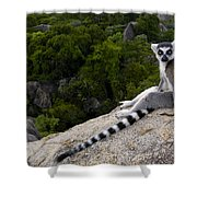 Ring-tailed Lemur Resting Madagascar Shower Curtain
