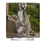 Ring-tailed Lemur Standing Madagascar Shower Curtain