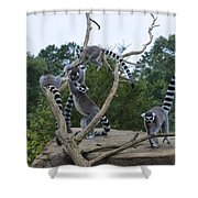 Ring Tailed Lemurs Playing Shower Curtain