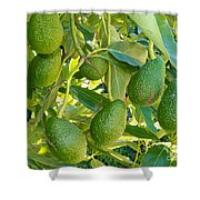 Ripe Avocado Fruits Growing On Tree As Crop Shower Curtain