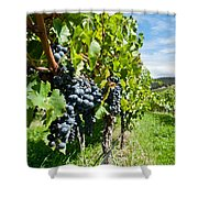 Ripe Grapes Right Before Harvest In The Summer Sun Shower Curtain by Ulrich Schade