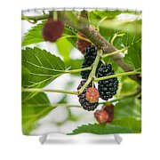 Ripe Mulberry On The Branches Shower Curtain