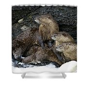 River Otter Trio   #0931 Shower Curtain