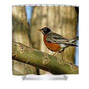 Robin Red-breast  Shower Curtain