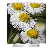 Robin's Plantain Wildflowers - Erigeron Pulchellus Shower Curtain
