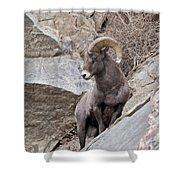 Rocky Mountain Big Horn Sheep Ram Shower Curtain