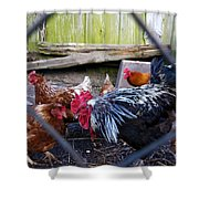 Rooster And Chickens Shower Curtain