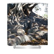 Roots Of Large Fig Tree Shower Curtain