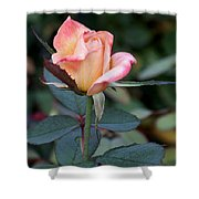 Pink Rose Bloom  Shower Curtain