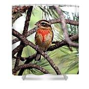 Rose-breasted Grosbeak On Pine Tree Shower Curtain