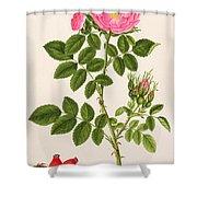 Rose Eglanteria Shower Curtain
