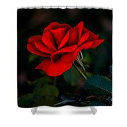 Rose Is A Rose Shower Curtain by Robert Bales