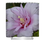 Rose Of Sharon 14-1 Shower Curtain