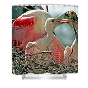 Roseate Spoonbill Feeding Young At Nest Shower Curtain