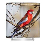 Crimson Rosella 1 - Australia Shower Curtain
