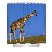 Rothschild Giraffe  Shower Curtain
