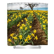 Rows Of Daffodils Shower Curtain