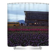 Rows Of Multi Colored Tulips In Field With Old Barn And Yellow B Shower Curtain
