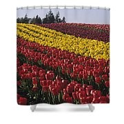 Rows Of Multicolored Tulips In Field Mount Vernon Washington Sta Shower Curtain
