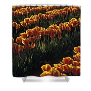 Rows Of Orange Tulips In Field Mount Vernon Washington State Usa Shower Curtain